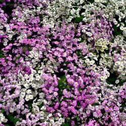 Blüte, pink, lila, weiß