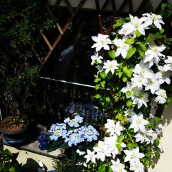 Clematis, Frühling, Blüte