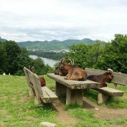 Ziegen im Wildpark