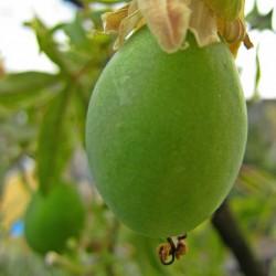 Passionsblume, Passionsfrucht