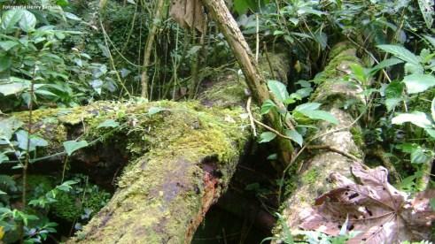 Dentro de la exuberancia del bosque es común encontrar gigantes caídos como estos dos cedros cubiertos de musgo y líquenes. Fotografía Henry Barbosa
