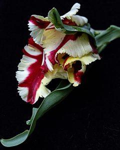 20. Nancy V. Ridenour Tulip on Black Photograph on Canvas 16x20 Retail Value $150