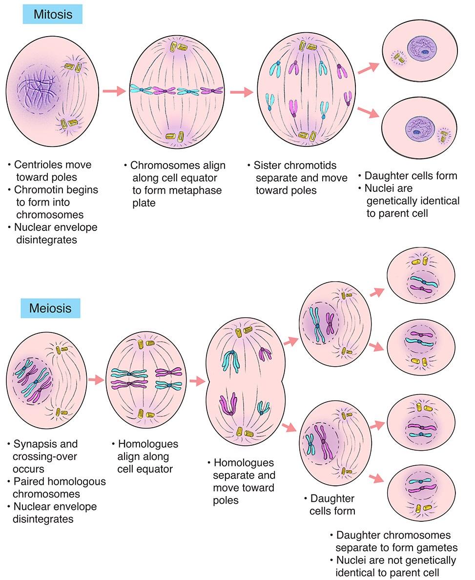 Tahap Tahap Pembelahan Mitosis : tahap, pembelahan, mitosis, Pembelahan, Pengertian,, Macam,, Tahapan, Gametogenesis