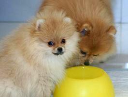 Чем кормить щенка шпица в 1, 2, 3, 4 месяца: советы специалистов