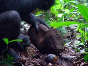 La Edad de Piedra de los chimpancés
