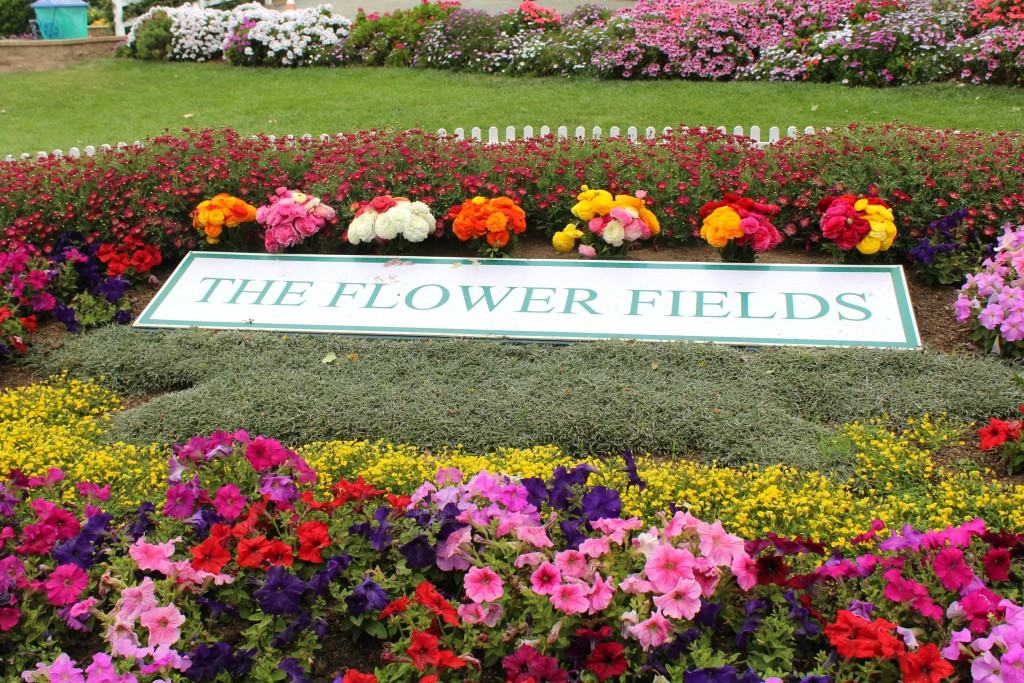 The-Flower-Fields-in-Carlsbad-are-open-March-May-every-year-3