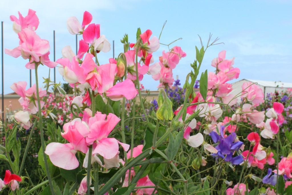 The-Flower-Fields-in-Carlsbad-are-open-March-through-May-every-year