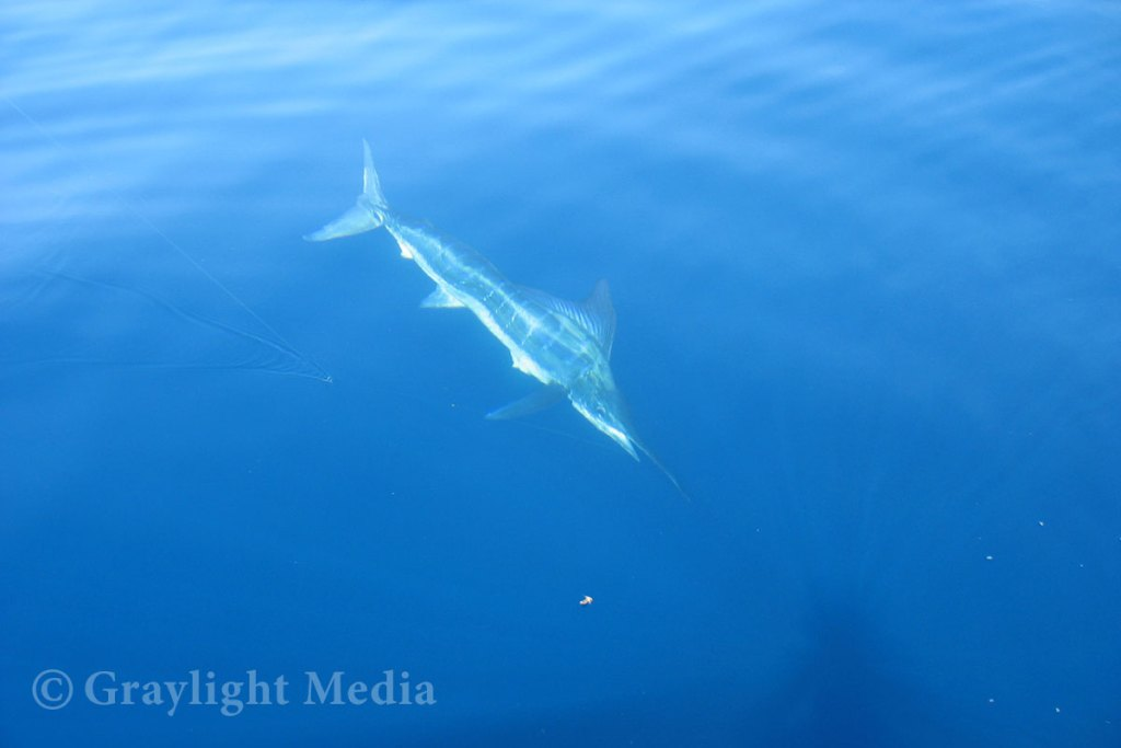 Striped marlin 8 miles off Dana Point
