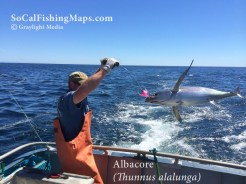 Albacore tuna landed on commercial handline