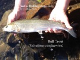 Releasing a bull trout from the McKenzie River in Oregon