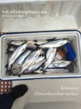 A cooler full of kokanee salmon caught jigging in 80 feet of water at Odell Lake, OR.