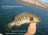 Note the rounded tail to differentiate true cabrilla from a juvenile leopard grouper.