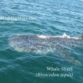 Whale shark actively feeding on the surface in the northern Sea of Cortez.