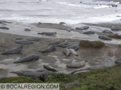 Elephant seals lounging. Some moving, most just laying about.