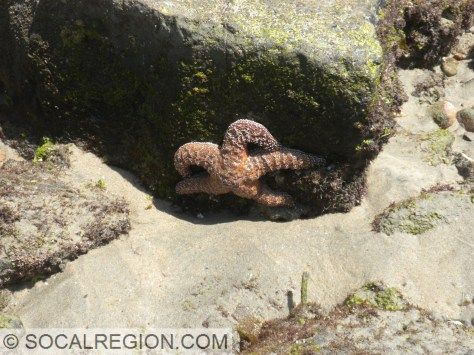 Another Starfish, this one out of water.