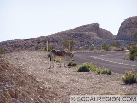 Burro on the Trona-Wildrose Road on the descent into Panamint Valley in February 2006.