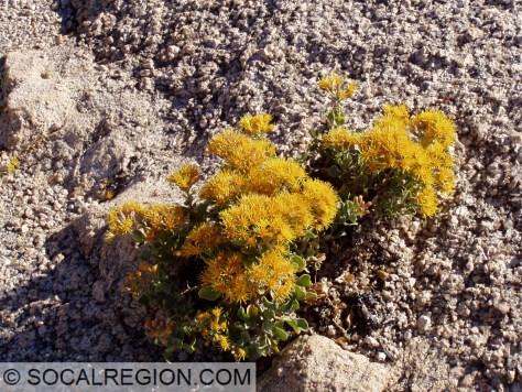 Desert flowers growing in granodiorite or tonalite in Joshua Tree National Park.