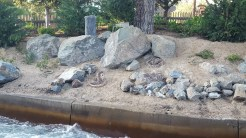 Rattlesnakes displaying signs of danger to passing rafts