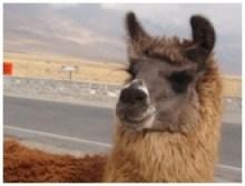 Sa majesté lama, dans son environnement andin