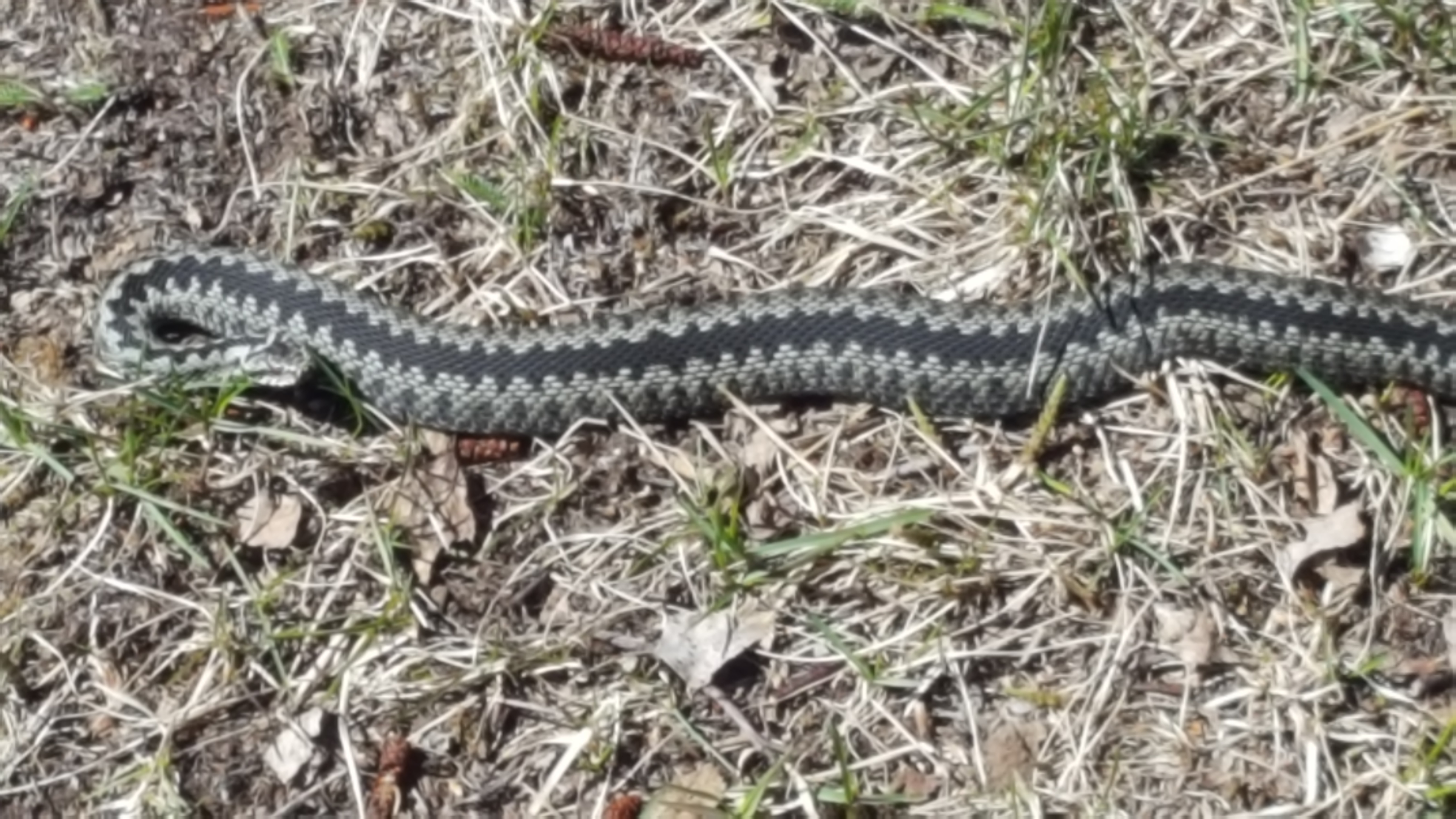 (8) Un serpent rencontré sur l'île de Kiji -Béguier