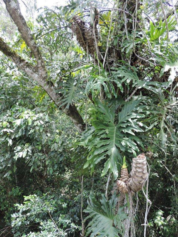 Un enchevêtrement inextricable de troncs, lianes, épiphytes… terrain de jeux des singes capucins et autres caïmans.