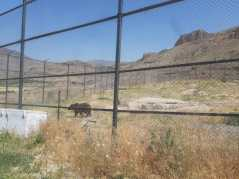 Ours en transit qui repartira loin dans la montagne si les soigneurs jugent qu'après avoir été soigné il saura survivre autonome.