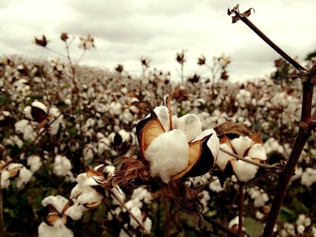 cotton-2047302_640
