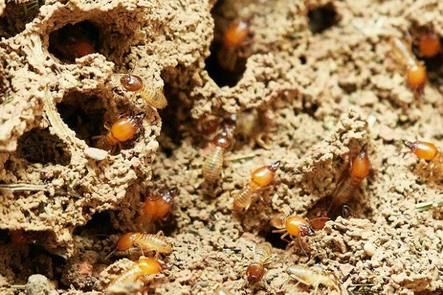 termites-3367350_640