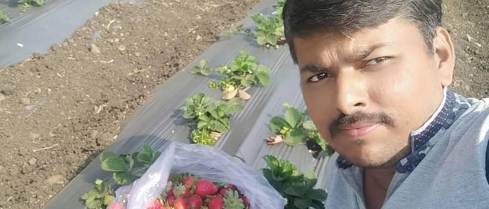 Cultivation of strawberries at Derla in Loha