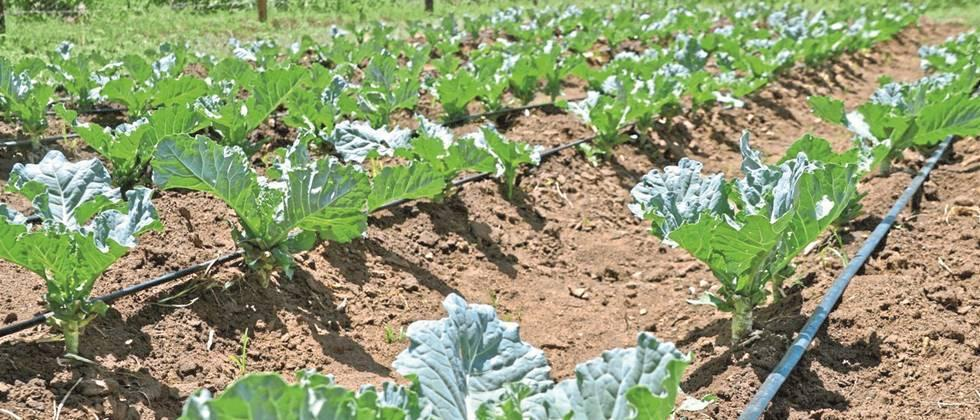Drip irrigation is beneficial in vegetable crops