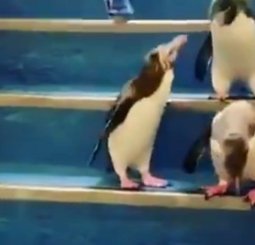 Penguins Walking Down Stairs