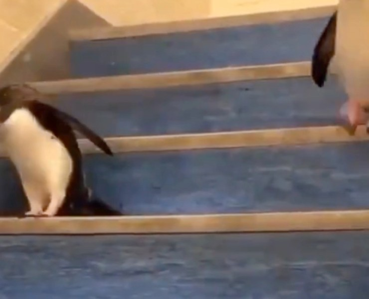 Imperial penguins hopping down the stairs