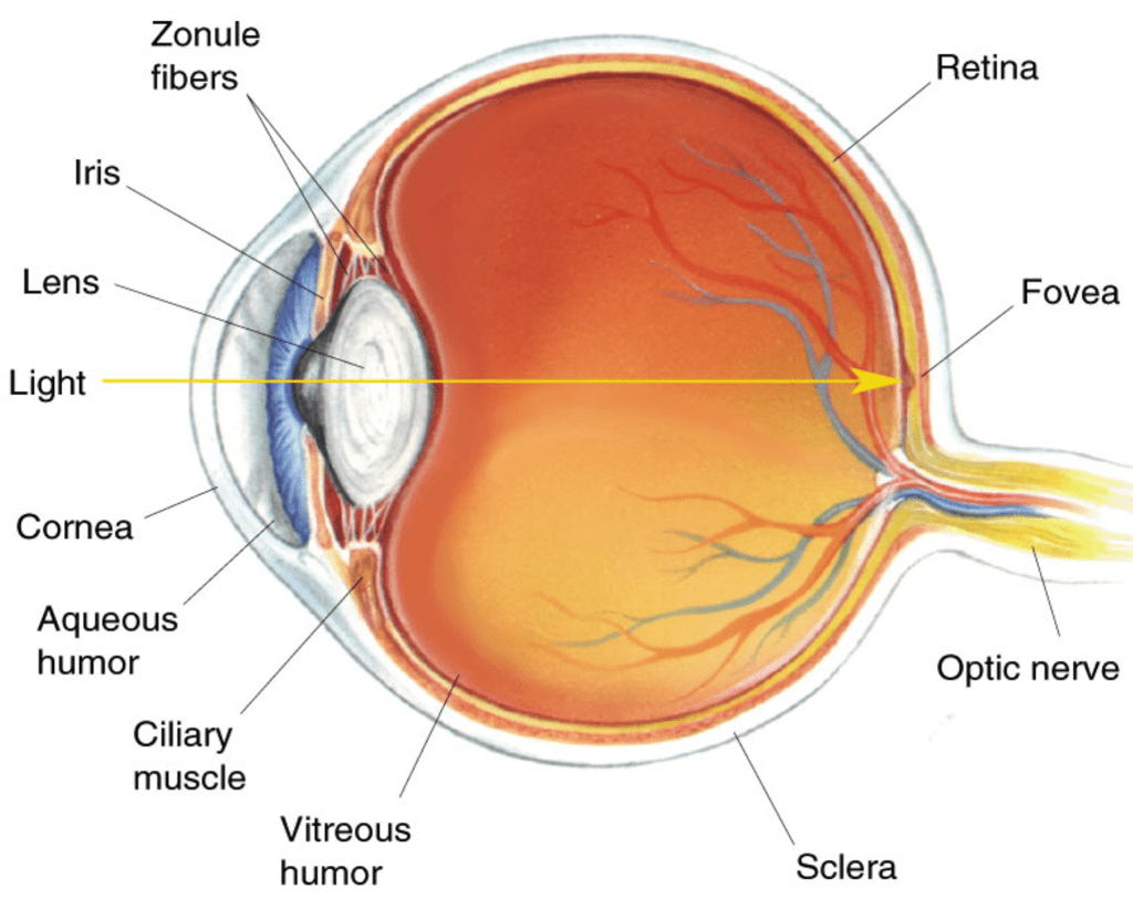 Researchers Successfully Use Grown Cornea Cells To Cure Blindness