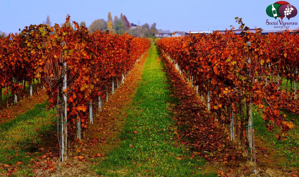 Corvezzo vineyards exterior Veneto wine cessalto proseeco glera social vignerons