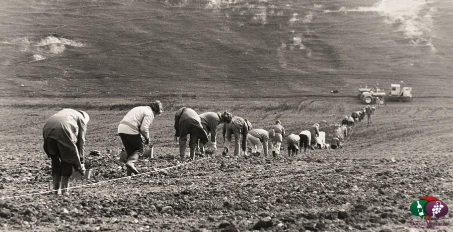 Teams of locals planting Brancott Vineyard by hand in 1973, Marlborough - ©Brancott Estate