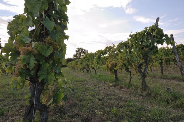 Cantina Bellavista Toscana vineyards white grape variety malvasia Italy