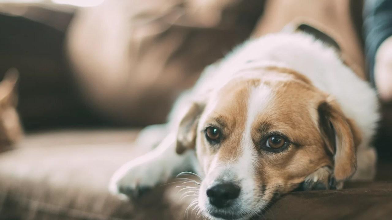 Estresse em humanos pode ser refletido em cães