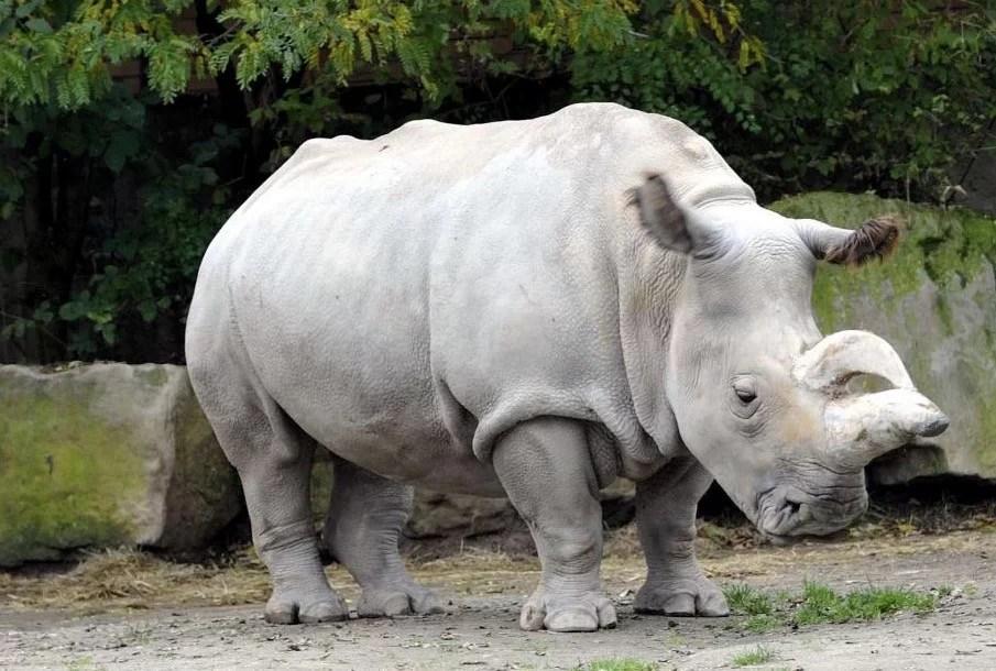 https://i0.wp.com/socientifica.com.br/wp-content/uploads/2019/06/Ultimo-rinoceronte-branco.jpg?resize=905%2C610&ssl=1
