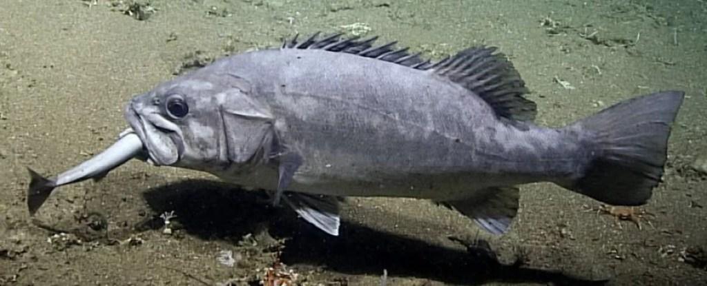 https://i0.wp.com/socientifica.com.br/wp-content/uploads/2019/07/peixe-gigante-engolindo-tubarão.jpg?resize=1024%2C415&ssl=1