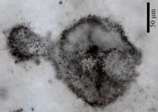 https://i0.wp.com/socientifica.com.br/wp-content/uploads/2019/08/Micróbios-Gigantes.jpg?resize=553%2C392&ssl=1
