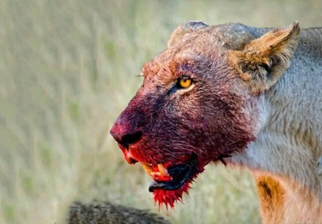 Aldeões são atacados por leões e obrigados a fugir