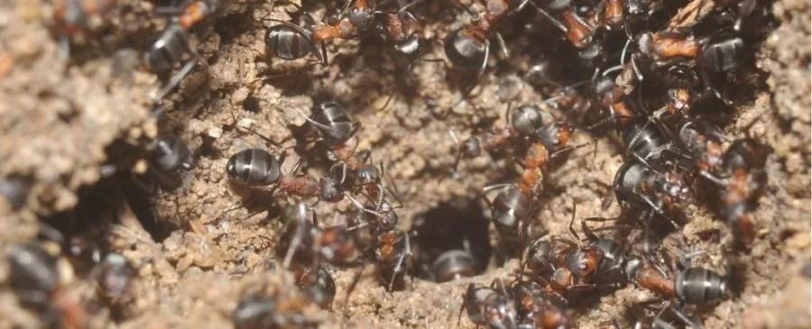 Formigas são um dos insetos mais incríveis da Terra. (Imagem: Wojciech Stephan/Czechowski et al., Journal of Hymenoptera Research, 2016)