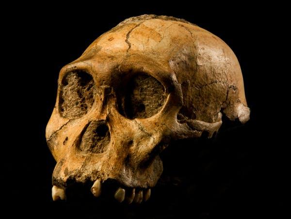 Fósseis como o Australopithecus sediba , descoberto na África do Sul por um menino de 9 anos, estão remodelando a árvore genealógica humana. Foto de Brett Eloff. Cortesia Prof Berger e Wits University , CC BY-SA