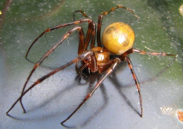 A aranha Meta menardi é uma das primeiras criaturas que você pode encontrar se estiver indo em uma jornada ao centro da Terra. (Magne Flåten / Wikimedia , CC BY-SA)