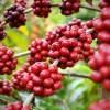 O café catuaí é um dos inúmeros produtos do novo banco de dados.