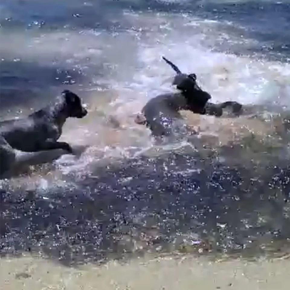 Os quatro cães podem ser vistos perseguindo e brincando divertidamente com os tubarões enquanto enquanto eles caçam os peixes menores.