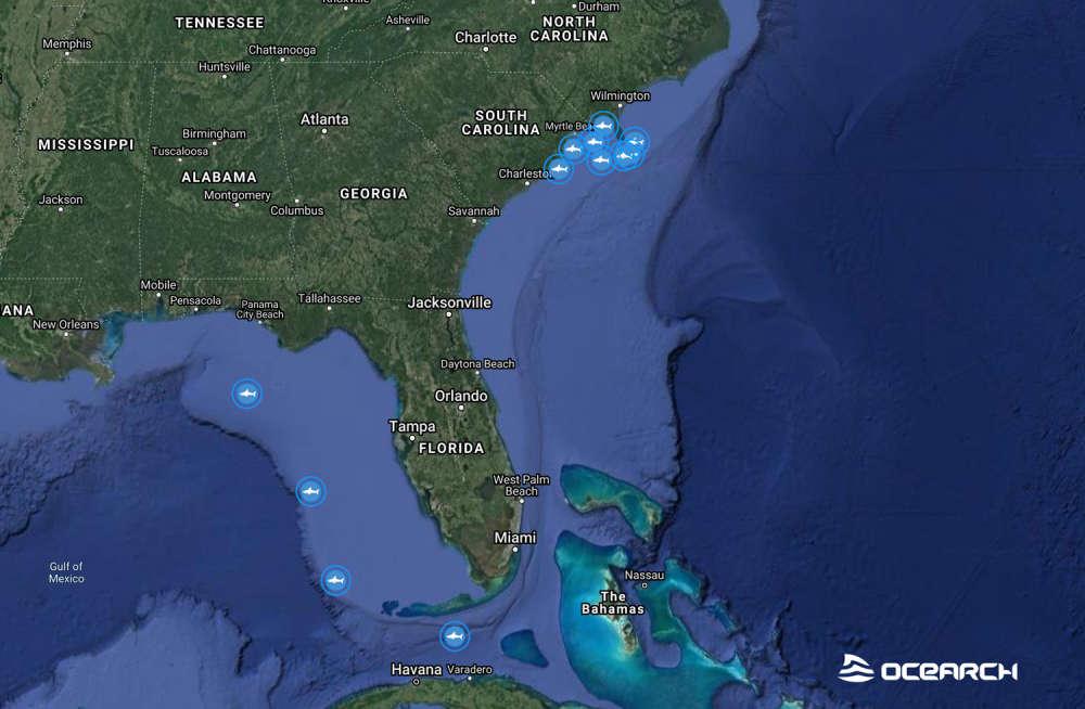 Tubarões brancos estão se reunindo misteriosamente em um ponto do oceano. (Imagem: OCEARCH)