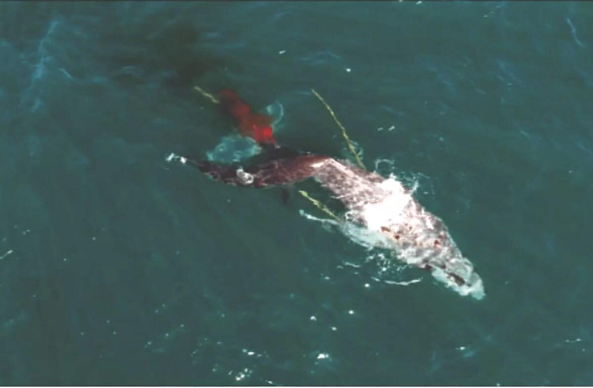 Tubarões brancos foram vistos atacando uma baleia jubarte viva pela primeira vez