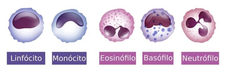 O que são os glóbulos brancos?