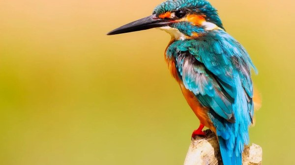 bico do pássaro